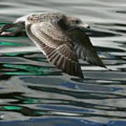 Gull Flight Art Print