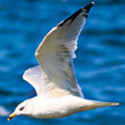 Gull Flying Art Print