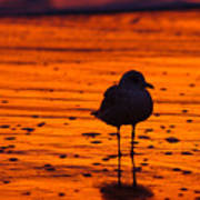 Gull Caught At Sunrise Art Print