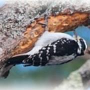 Hairy Woodpecker 2 Art Print