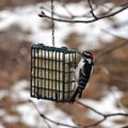 Hairy Woodpecker 2 Art Print