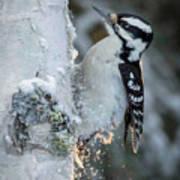 Hairy Woodpecker Female Art Print