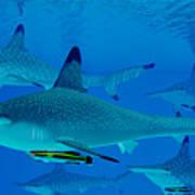 Hammerhead Sharks Art Print