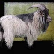 Handsome Pygmy Goat Art Print