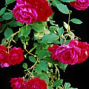 Hanging Roses 2593 Art Print