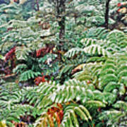 Hapu'u Fern Rainforest Art Print