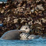 Harbor Seal And Pup Art Print