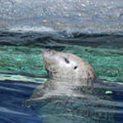 Harbor Seal Poking His Head Out Of The Water Art Print