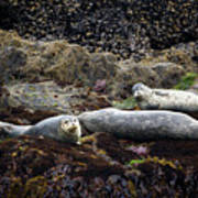 Harbor Seals Basking - Oregon Coast Art Print