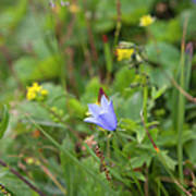 Harebell - Campanula Rotundifolia - Flower Art Print
