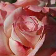 Harlekin Rose Art Print