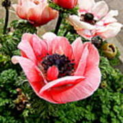Harmony Scarlet Anemone Photograph By Nancy Kane Chapman