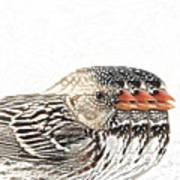 Harris' Sparrow X 3 Art Print