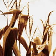 Harvest Corn Stalks - Gold Art Print