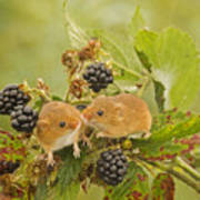 Harvest Mice On Blackberry Art Print