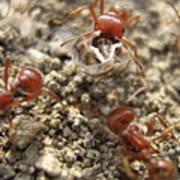 Harvester Ants 3 Art Print