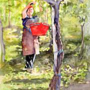 Harvesting Anna's Grapes Art Print