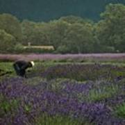 Harvesting The Lavender, Long Island Art Print