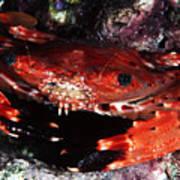 Hawaii Swimming Crab Art Print