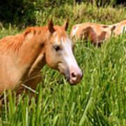 Hawaiian Horses In Sugar Cane Art Print