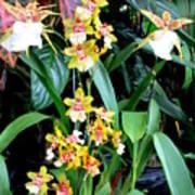Hawaiian Orchid 36 Art Print