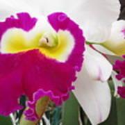 Hawaiian Orchid 4 Art Print