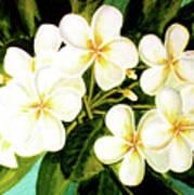 Hawaiian Plumeria #56 Art Print