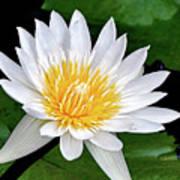 Hawaiian White Water Lily Art Print