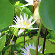 Hawiian Water Lily 01 - Kauai, Hawaii Art Print