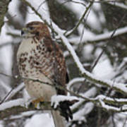 Hawk In Winter Art Print