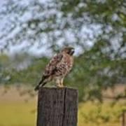 Hawk On A Fence Post Art Print