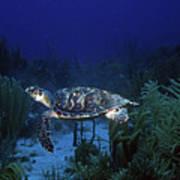 Hawksbill Sea Turtle 1 Art Print