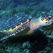 Hawksbill Sea Turtle 3 Art Print