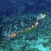 Hawksbill Sea Turtle 5 Art Print