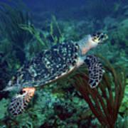 Hawksbill Sea Turtle 7 Art Print