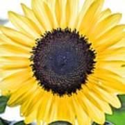Hdr Sunflower Art Print