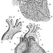 Heart Anatomy, Illustration, 1703 Art Print