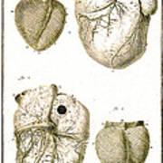 Heart And Muscle Fibers, 18th Century Art Print
