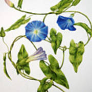 Heavenly Blue Morning Glory Art Print