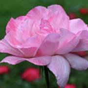 Heavenly Pink Rose Art Print