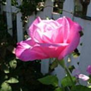 Heavenly Rose Art Print