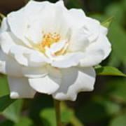 Heavenly White Rose Art Print