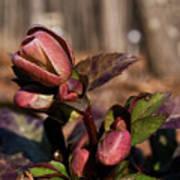 Heliborus Early Flower Buds 2 Art Print