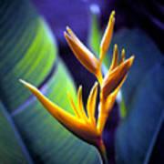 Heliconia Rhizomes Art Print