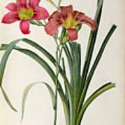 Hemerocallis Fulva Art Print