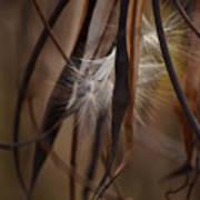 Hemp Dogbane Seeds Art Print