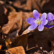Hepatica Flower Art Print