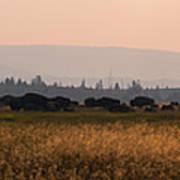 Herd Of Bison Grazing Panorama Art Print