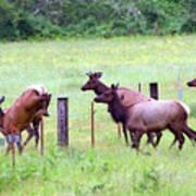 Herd Of Elk Leaping - Western Oregon Art Print