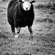 Herdwick Sheep Art Print